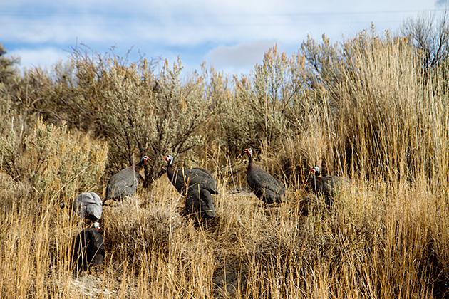 Idaho Turkey