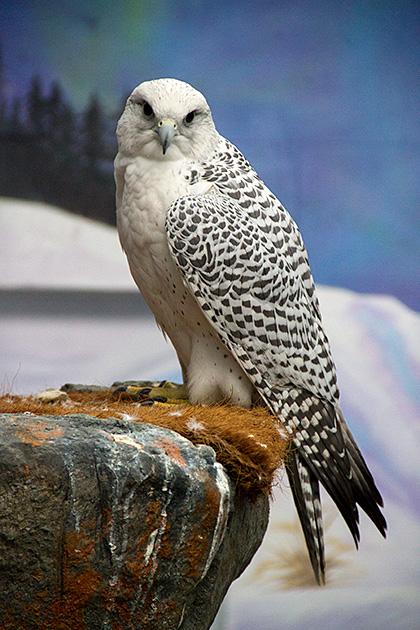 Arctic-Falcon