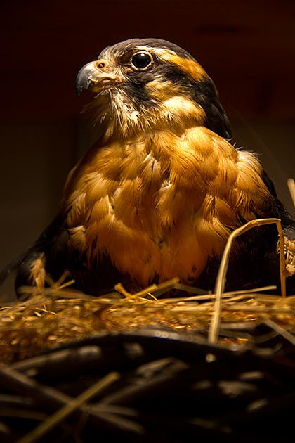 Falcon-Nest