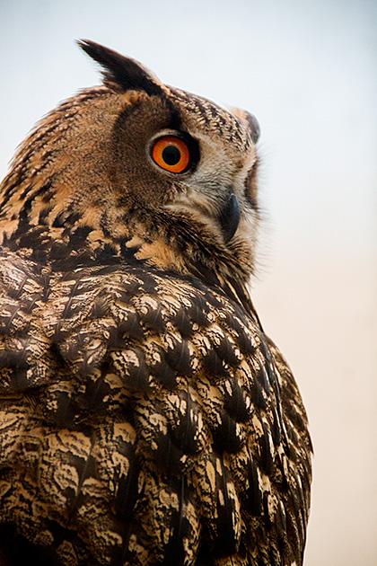 Idaho-Owl