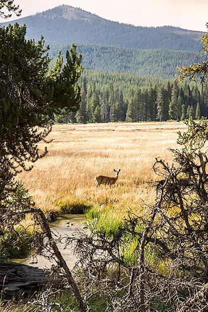 Burgdorf-Deer