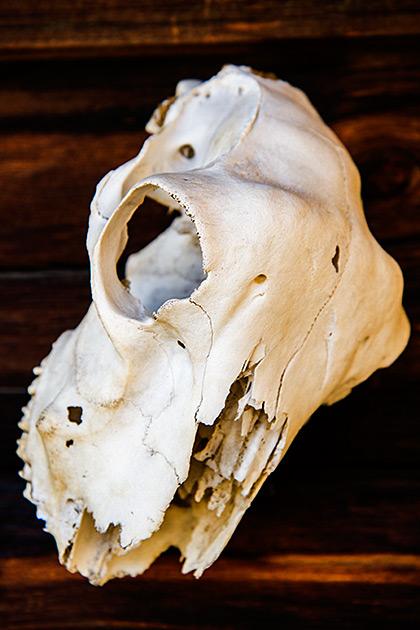 Idaho-Skull