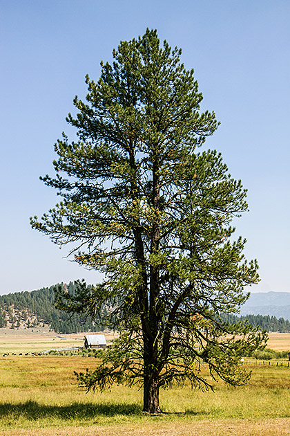 Huge-Idaho-Tree