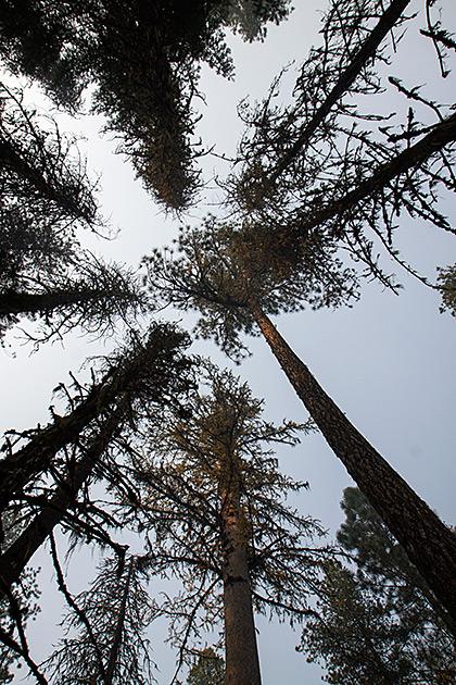 Smoky Tree