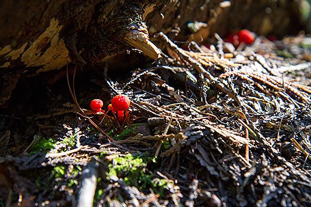 Red Idaho Mushroom
