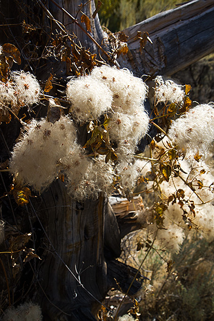 Idaho Cotton