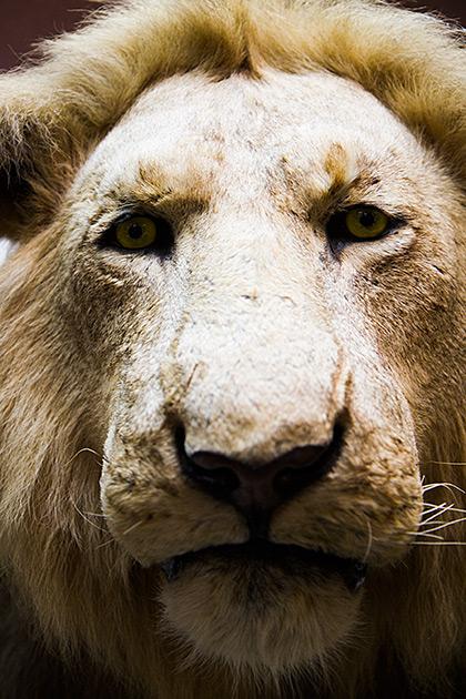 Stern Lion