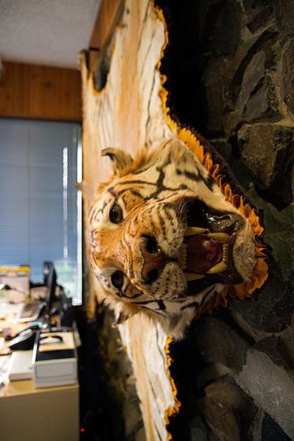 Wall Tiger