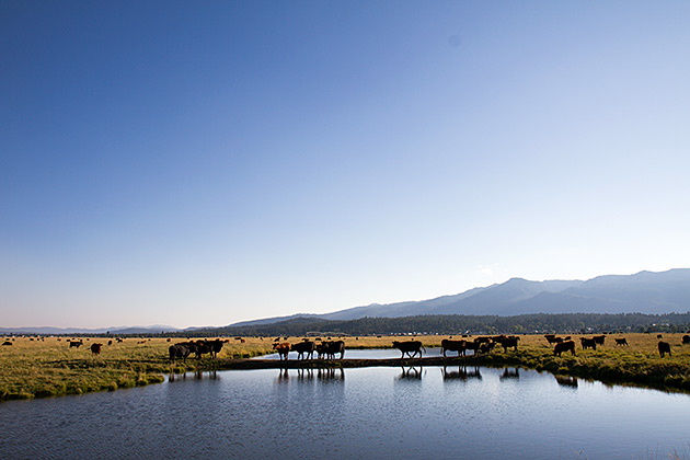 Idaho Cows