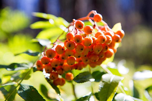 Idaho-Berries
