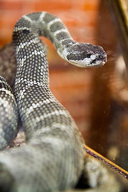 Idaho-Rattle-Snake