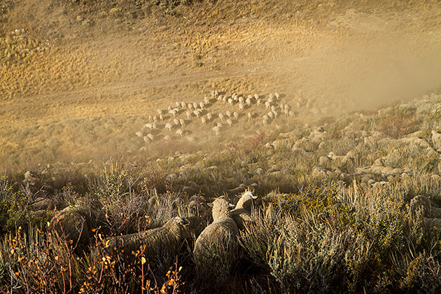 Dusty Sheep