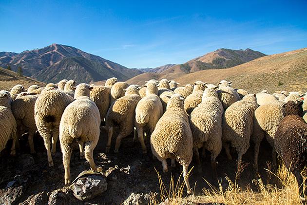 Poopy Sheep