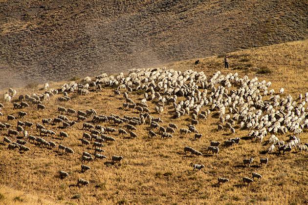 Schafe Idaho