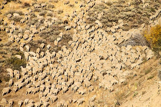 Sheep-Festival
