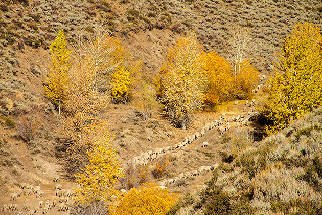 Trailing-Sheep-Sun-Valley