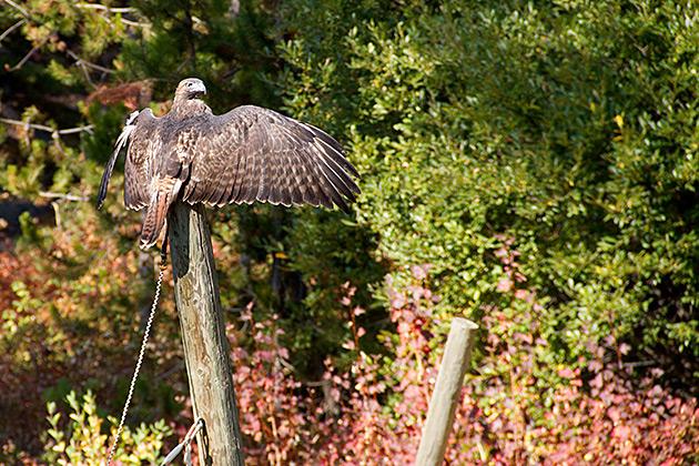 Hawk-Spreading-Wings