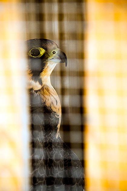 Spying-Hawk