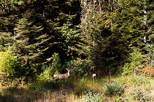 Idaho-Deer