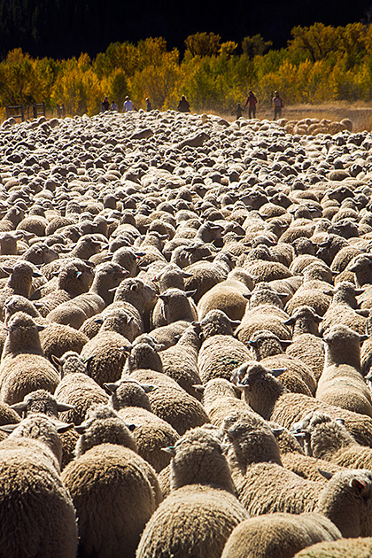 Sheep Overload