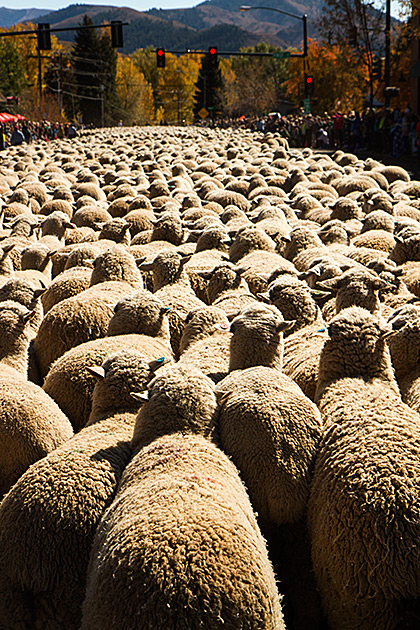 Trailing-Of-The-Sheep