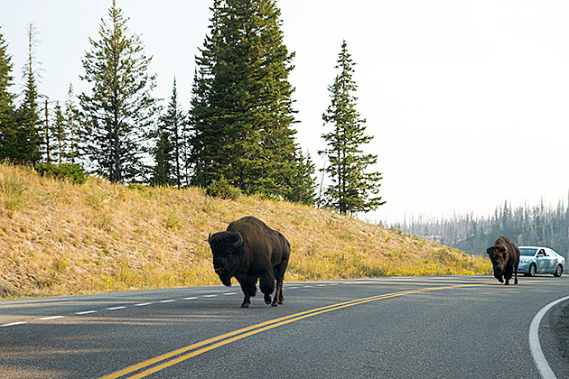 Yellowstone-Road-Bison