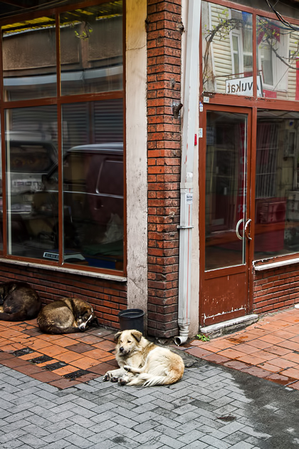 Dogs In Istanbul
