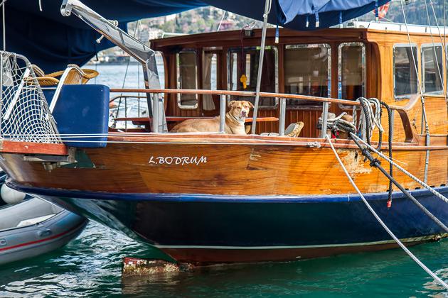 Dog On Boat Istanbul