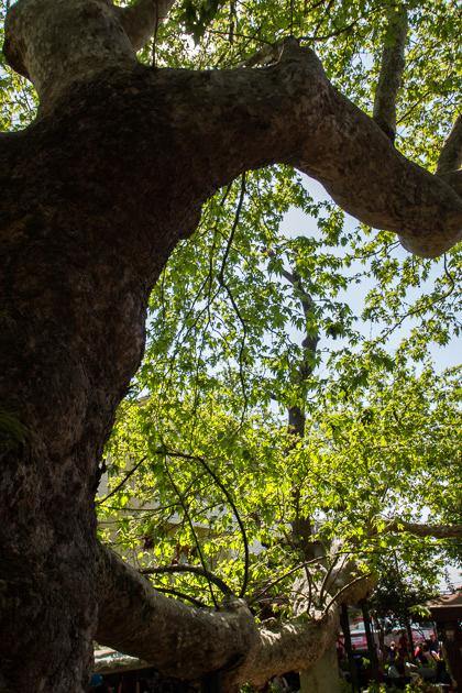 Çengelköy Tree