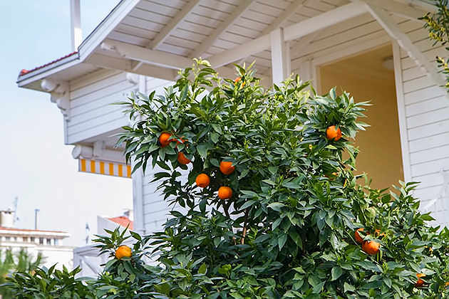 Burgazada-Oranges