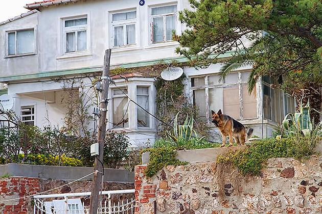 Turkish-Dog