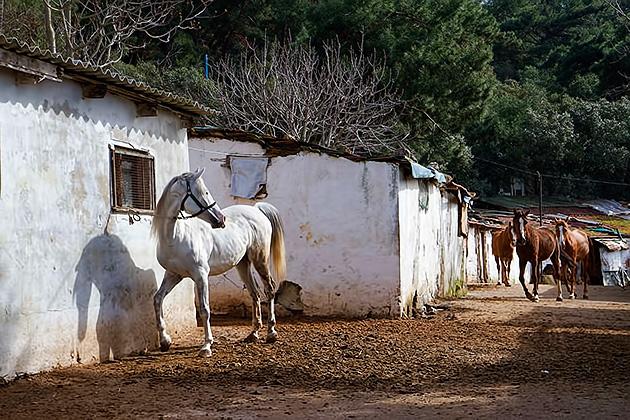 Turkish-Horses