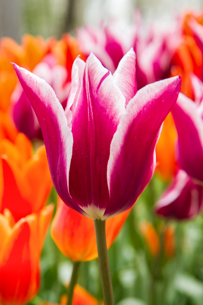 Gülhane Tulip Festival