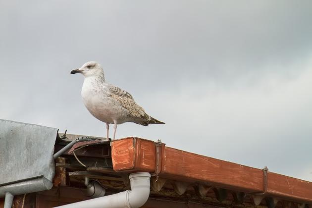 Istanbul Seagull