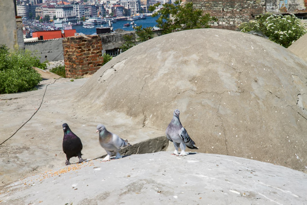 Breed Pigeons Istanbul
