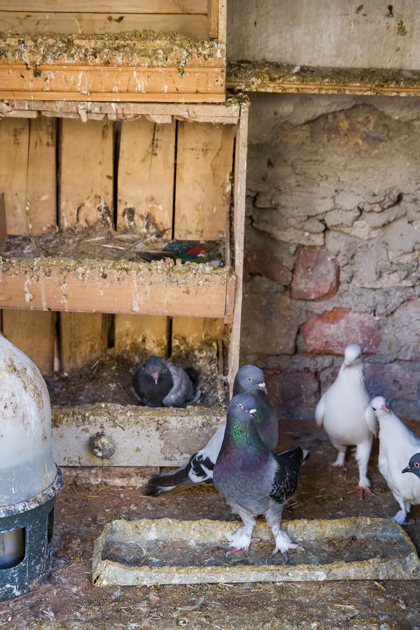 Pigeons Istanbul