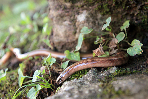 Covadonga Snake