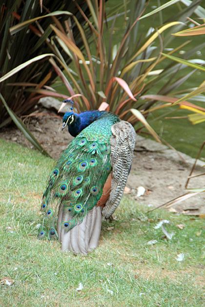 Oviedo Peacock