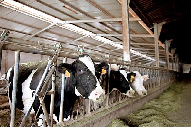 Milk Cows