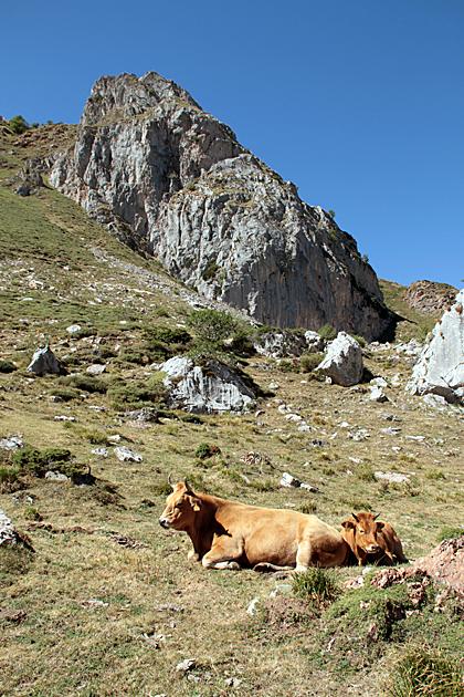 Cows Somiedo