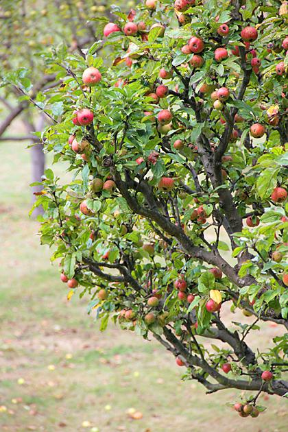 Manzanas Asturias