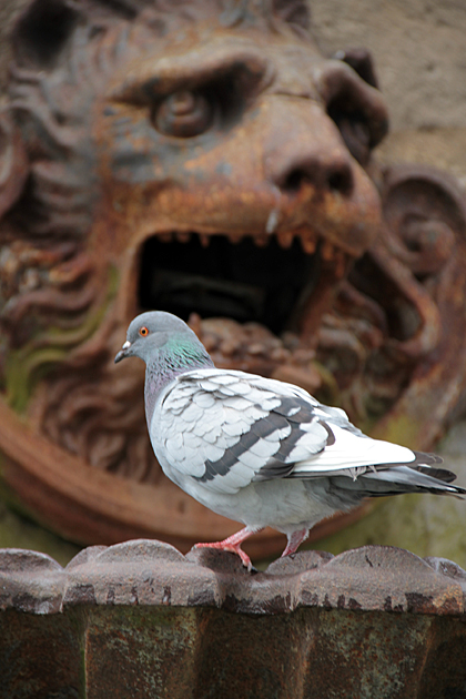 Hungry for Pigeon