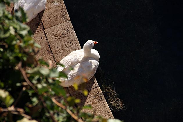 Italian Duck