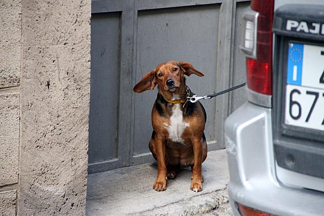Sicilian Dog