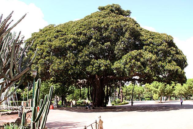 Huge Tree Palermo