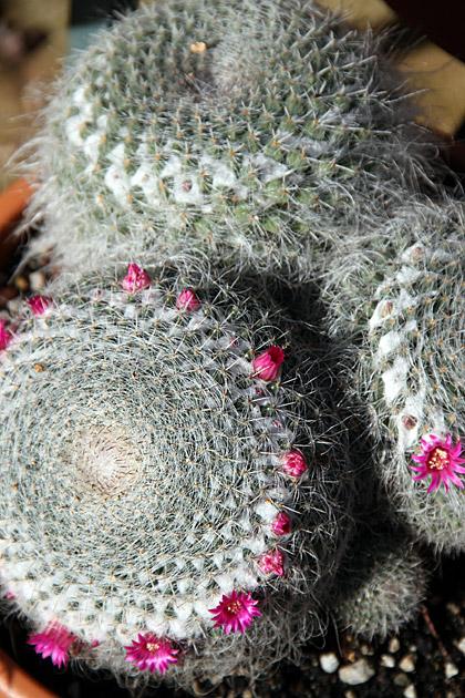 Cactus Sicily