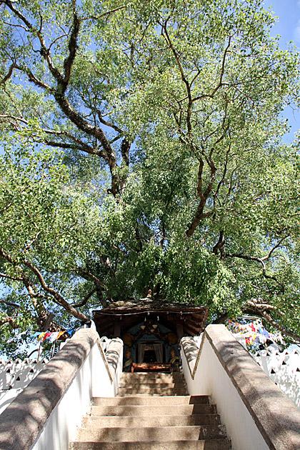 Pattini-Devale-Bo-Tree