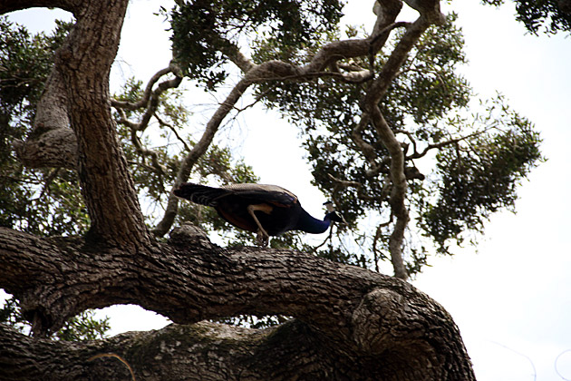 Sri-Lankan-Peacock