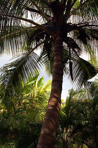 Palm Tree Anuradhapura