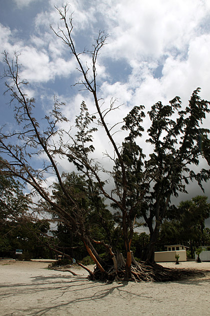 Causarina-Tree